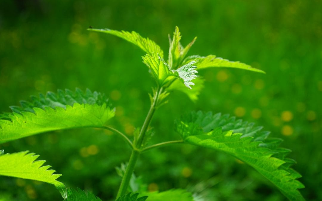 7 Lessons Taught by Stinging Nettles – refreshing some 'burning' lessons